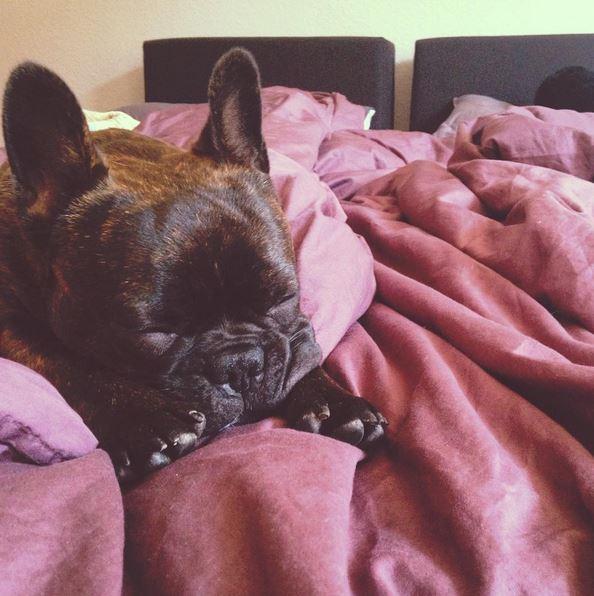 Cooper Französische Bulldogge